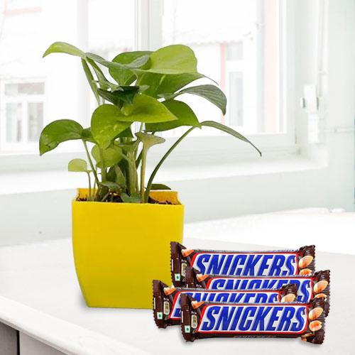 Blossoming Present of Money Plant with Chocolates