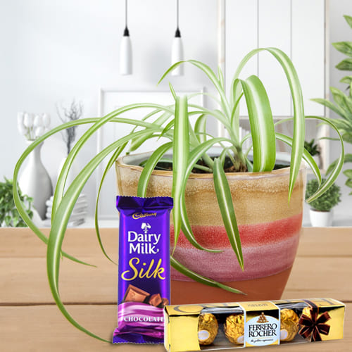 Exclusive Spider Plant in Plastic Pot with Cadbury Dairy Milk Silk and Ferrero Rocher