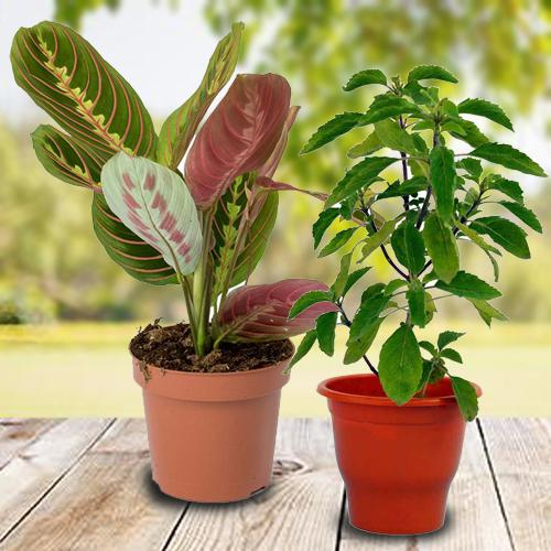 Breathtaking Selection of 2 Air Purifying Indoor Plants