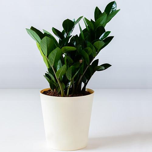 Nurturing Air Purifier Zamia Plant in a Plastic Pot